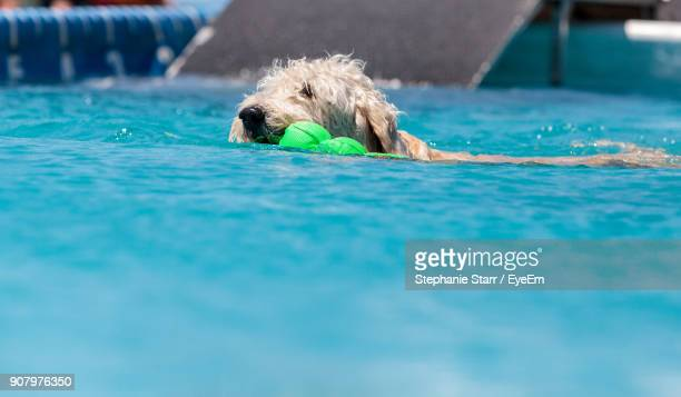 Dog Carrying Toy In Mouth While Swimming In Pool