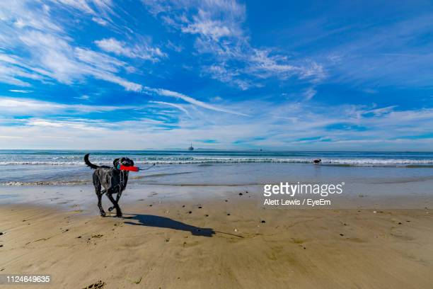 Dog Carrying Toy In Mouth While Walking At Beach