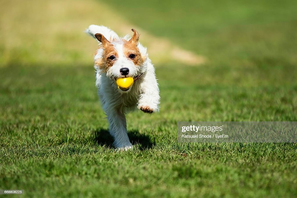 Dog Carrying Yellow Ball On Grass : Stock Photo