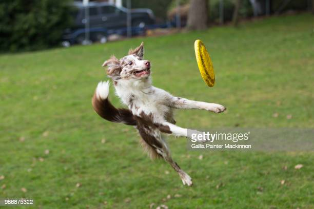 A dog catching a frisbee.