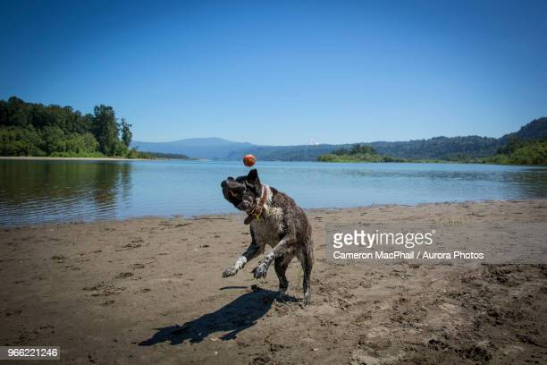 Dog catching ball at beach, Columbia River Gorge, Portland, Oregon, USA