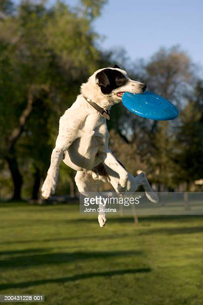Dog catching flying disk mid-air