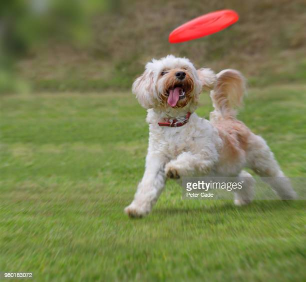 dog catching frisbee - catching stock pictures, royalty-free photos & images