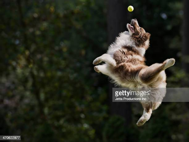 dog catching tennis ball in mid air - palla sportiva foto e immagini stock