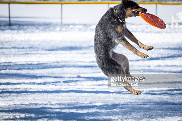 Dog Caught Plastic Disc In Mid-Air Over Snow Covered Field