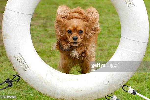 Dog Cavalier King Charles Adult Female Domestic Dog Agility Obstacle Cavalier King Charles Adultcanis Lupus Familiaris Domestic Dog Dog Canid...