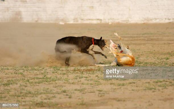 dog chase rabbit (dog race) - tag game stock photos and pictures