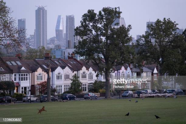 Dog chases crows in front of south London suburban homes with a background of the city towers and office buildings, in Ruskin Park, Lambeth, on 17th...