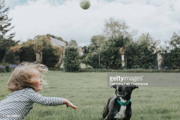 dog chasing tennis ball - flick stock pictures, royalty-free photos & images