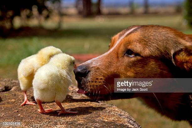 dog checking out day old chicks - day old chicks stock photos and pictures