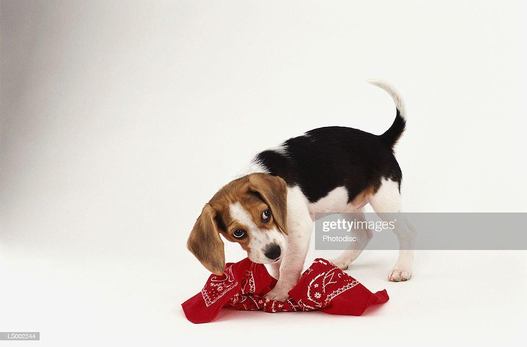 Dog Chewing up Handkerchief : Stock-Foto