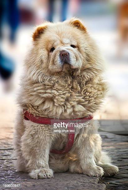 dog -chow chow - chow stock pictures, royalty-free photos & images