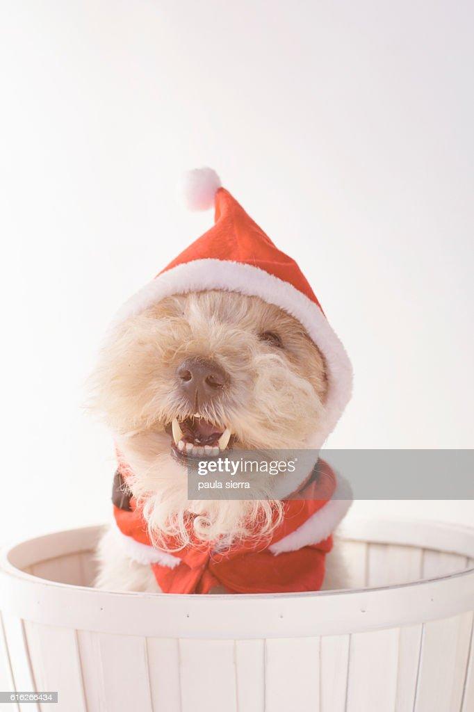 Dog Christmas : Stock Photo