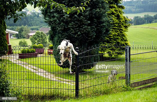 Dog climbing over fence