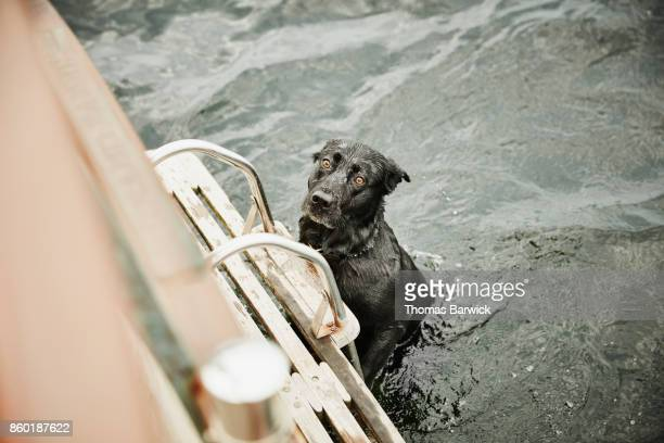 Dog climbing up boat ladder after swimming in lake