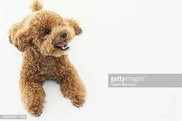 dog, close-up, looking away - miniature poodle stock photos and pictures