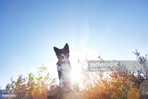Dog, collie, looking into camera with lens flare