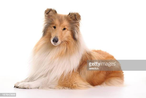 dog collie - collie stock photos and pictures