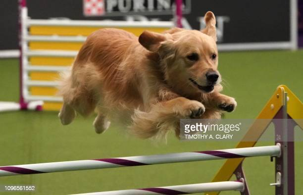 A dog competes in the 6th Annual Masters Agility Championship as the The American Kennel Club and Westminster Kennel Club present Meet Compete on...