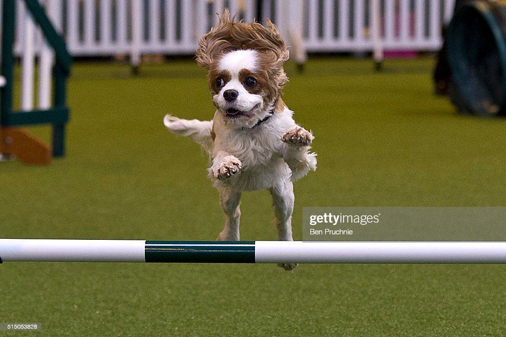 Crufts Dog Show 2016 - Day Three : News Photo