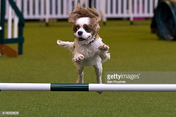 Dog competes in the agility competition on the third day of Crufts 2016 on March 12, 2016 in Birmingham, England. First held in 1891, Crufts is said...
