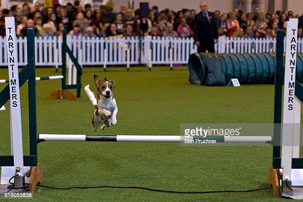 A dog competes in the agility competition on the third day of Crufts 2016 on March 12 2016 in Birmingham England First held in 1891 Crufts is said to...