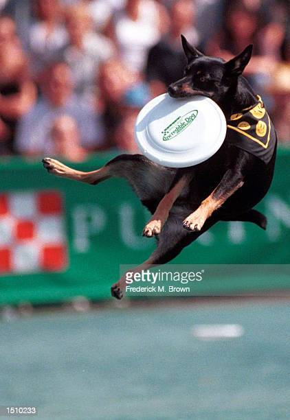 Dog competes in the Incredible Freestyle Flying Disc Competition at the Incredible Dog Challenge in Pomona, C.A., April 8, 2000. The winners will...