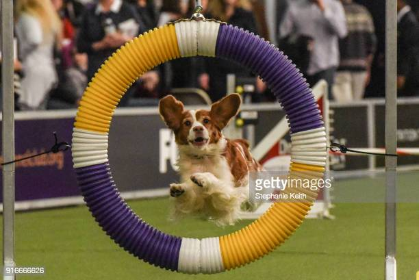 A dog competes in the Masters Agility Championship during the Westminster Kennel Club Dog Show on February 10 2018 in New York City TBest in show at...