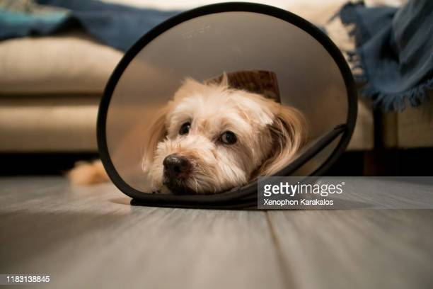 dog cone - cone shape stock pictures, royalty-free photos & images