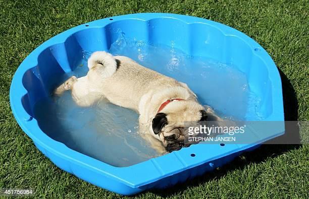 "Dog cools down after a dog race on July 6, 2014 in Munich. Several hundred dogs of breed ""Pug"" replace the second Munich Mopsrennen and run a..."