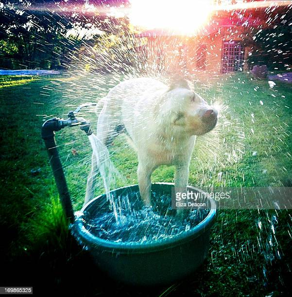 Dog cools down under garden tap on hot day.