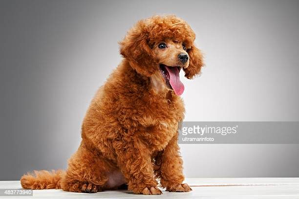 dog   cute miniature poodle puppy - miniature poodle stock photos and pictures