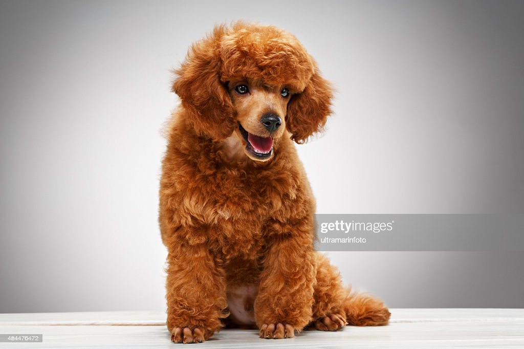 Miniature Poodle Stock Photos And Pictures Getty Images