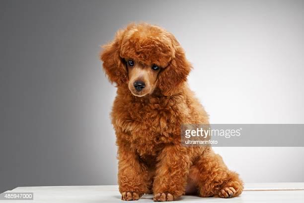 cane carino cucciolo barboncino nano - barboncino nano foto e immagini stock