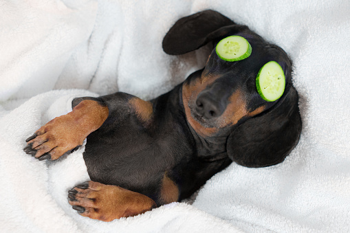 dog dachshund, black and tan, relaxed from spa procedures on face with cucumber, covered with a towel 1061822236