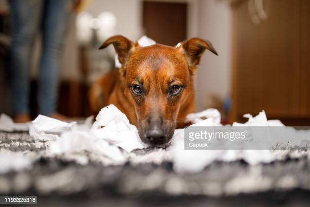 dog destroyed the toilet paper roll - funny toilet paper imagens e fotografias de stock