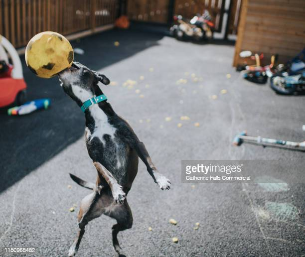dog destroying a ball - misbehaviour stock pictures, royalty-free photos & images