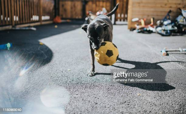dog destroying a ball - catching stock pictures, royalty-free photos & images