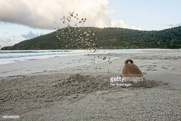 A dog digging a deep hole on a beach