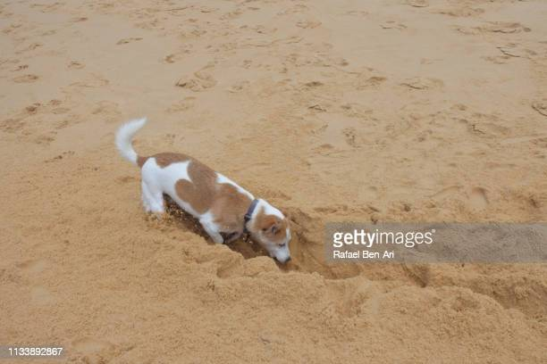 Dog digging a hole in sand