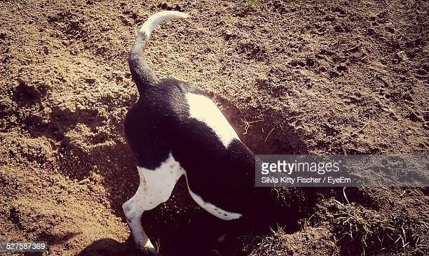 Dog Digging Hole At Beach
