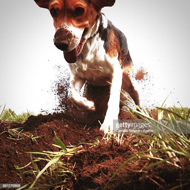 Dog Digging Hole In Field