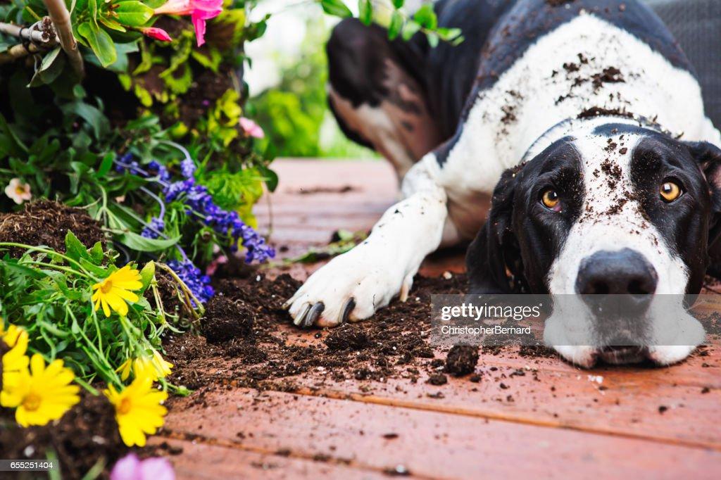 Dog digging in garden : Stock Photo