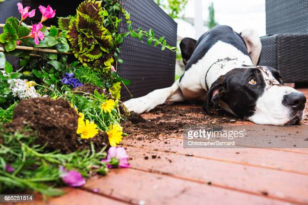 dog digging in garden - great dane stock pictures, royalty-free photos & images