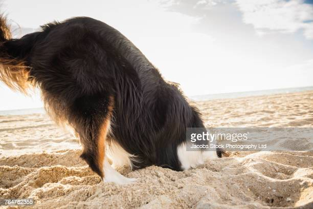 Dog digging in the sand at beach