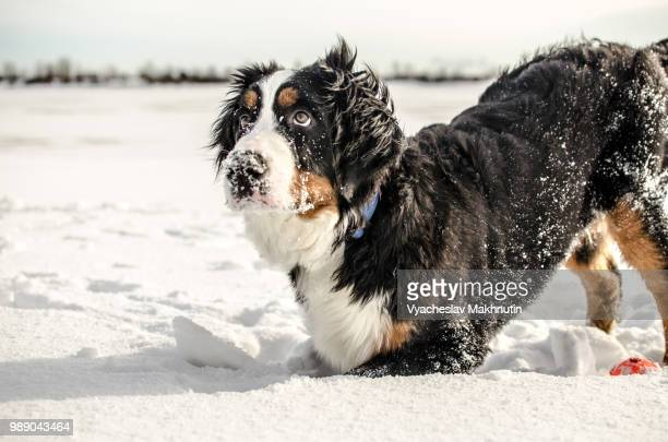 A dog digging in the snow.