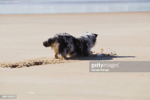 Dog digging sand on beach