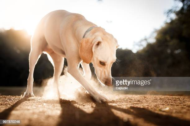 dog digging the ground - digging stock pictures, royalty-free photos & images