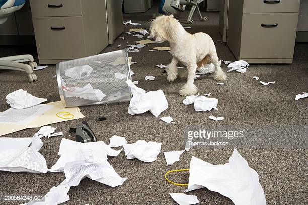 dog (chinese crested powder puff) digging through wastebin in office - destruction stock pictures, royalty-free photos & images