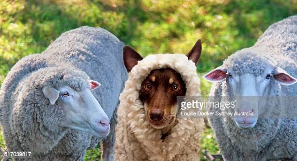 A dog disgused as a sheep